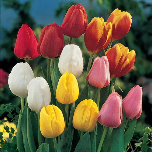 Perennial Tulip Mixture Super Sak®
