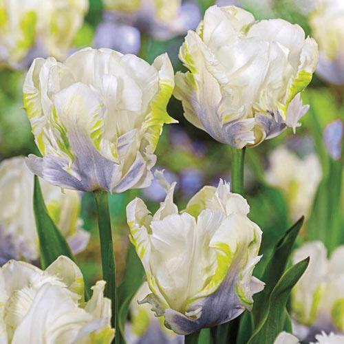 tulipe white lizard
