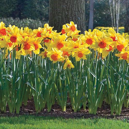 Buy Daffodils - Premium Dutch Daffodil Bulbs