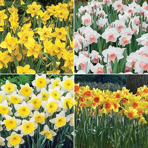 The Best Daffodils For Naturalizing Breck S