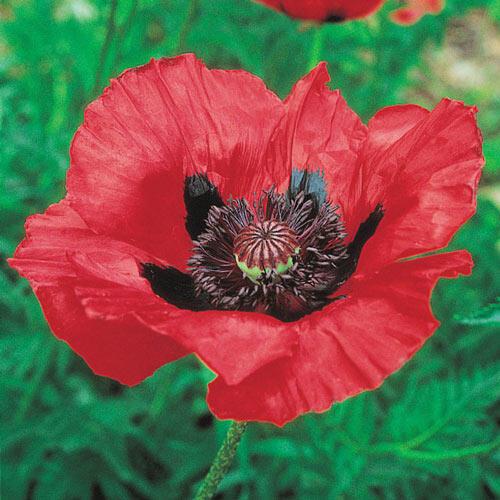 Beauty of Livermere Oriental Poppy