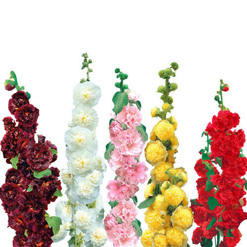 Double Hollyhock Collection