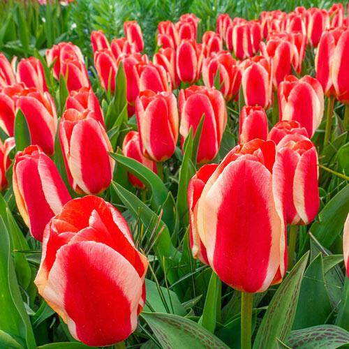 Hearts Delight Tulip