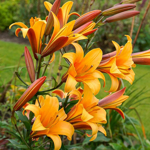 Orange Planet Lily Tree®