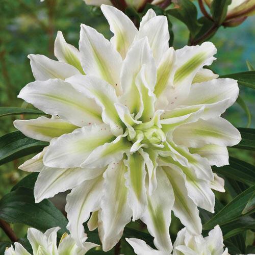 Polar Star Double Lily