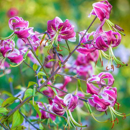 Black Beauty Lily