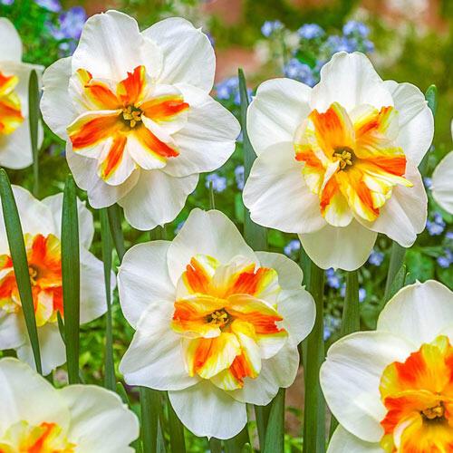 Daffodil Narciu Bulb Perennial Reitant unny Girlfriend Butterfly Flower