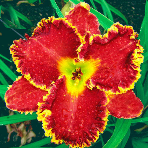Gasping for Breath Reblooming Daylily