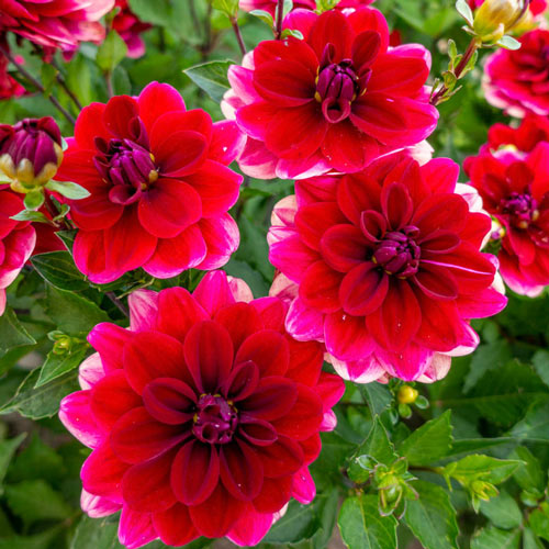Red Infusion Dahlia