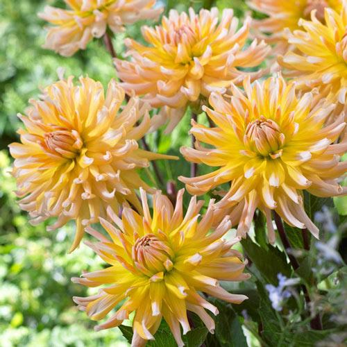 Golden Sea Urchin Dahlia