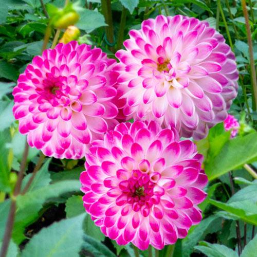 Pink Isa Dahlia