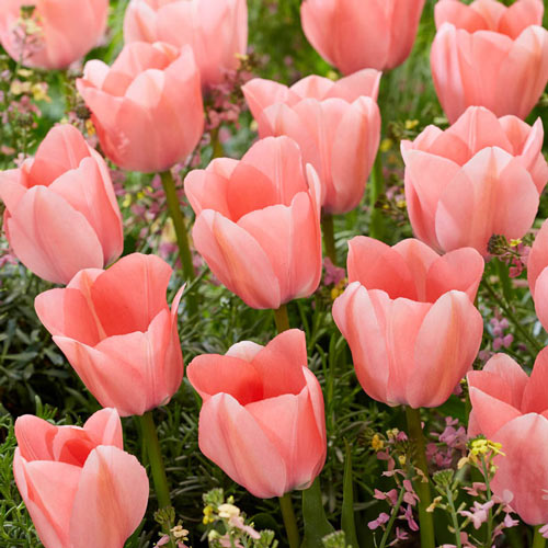 Bella Blush Tulip