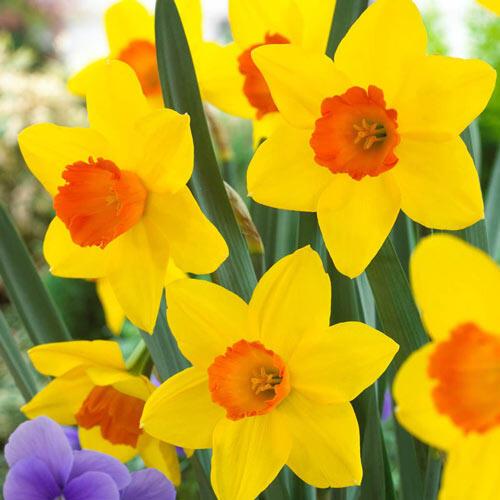 Ceylon Daffodil