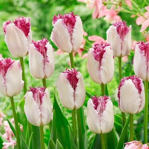 Eyelash Tulip
