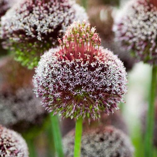 Forelock Allium