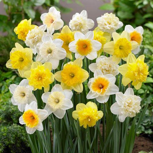Ice Follies Revue Daffodil Mixture