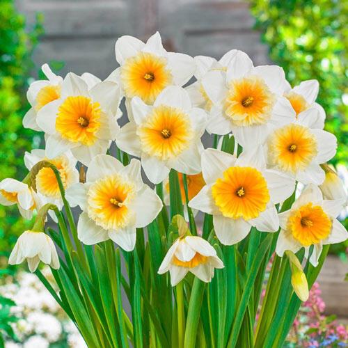 Slim Whitman Daffodil