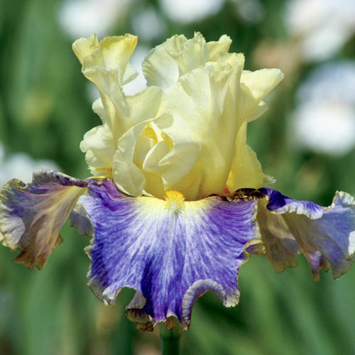 Sunny Glitter Bearded Iris