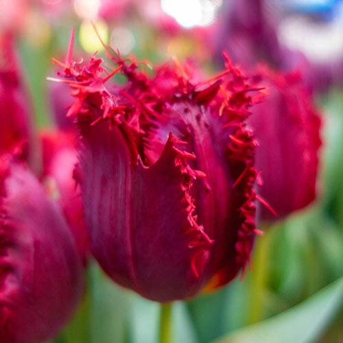 Valery Gergiev Tulip