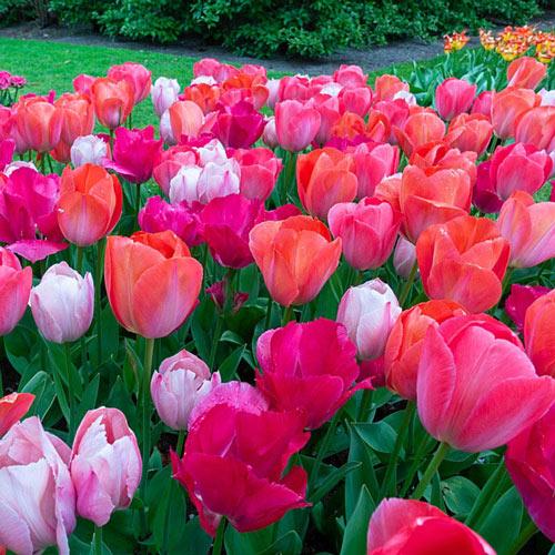 Van Eijk Tulip Mixture