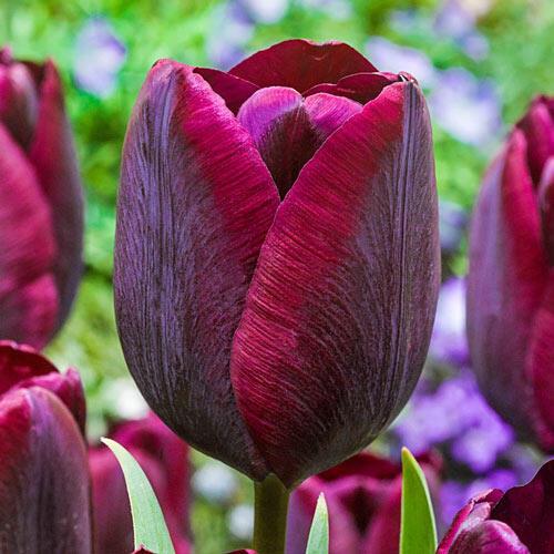 Ronaldo Tulip