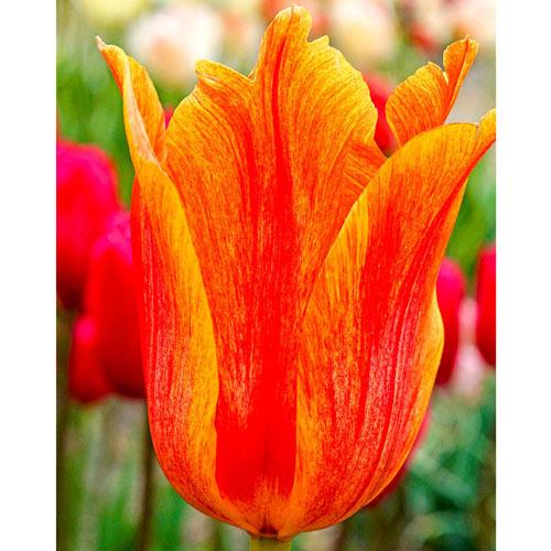 El Nino Tulip