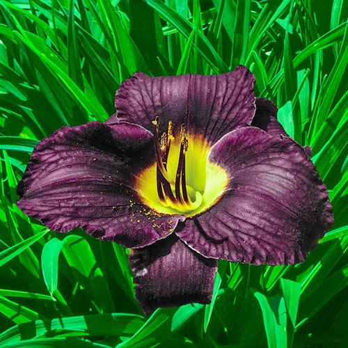 Black Ambrosia Reblooming Daylily