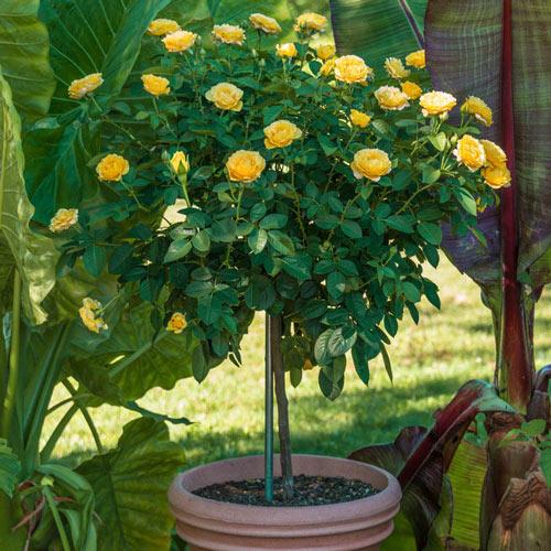 "Julia Child 18"" Patio Tree Rose"