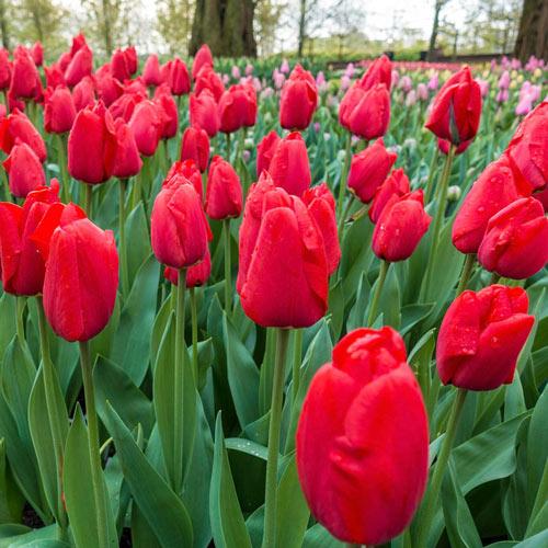 Lalibela Tulip Mixture Super Sak®