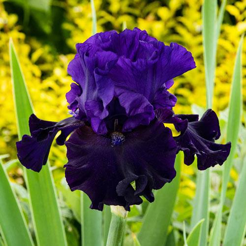 Violet Reblooming Bearded Iris