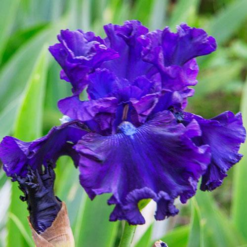 Hollywood Nights Bearded Iris