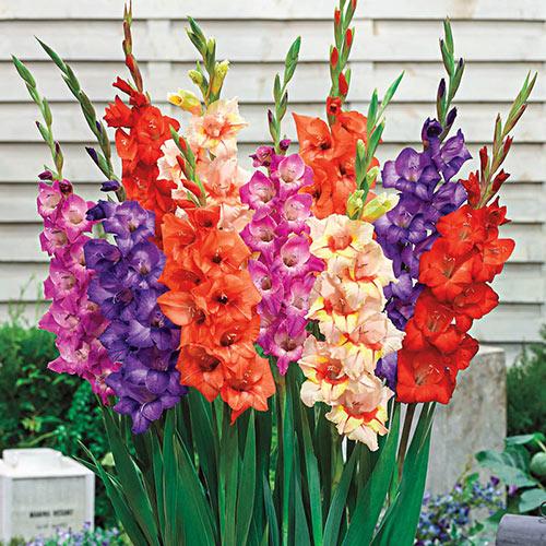 Glamini® Gladiolus Mixture Super Sak®