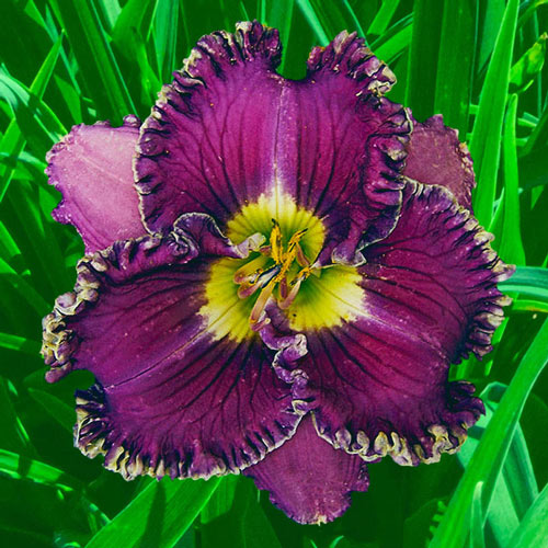 Spilled Wine Reblooming Daylily