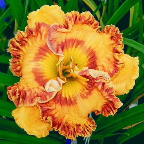 She Can Tango Reblooming Daylily