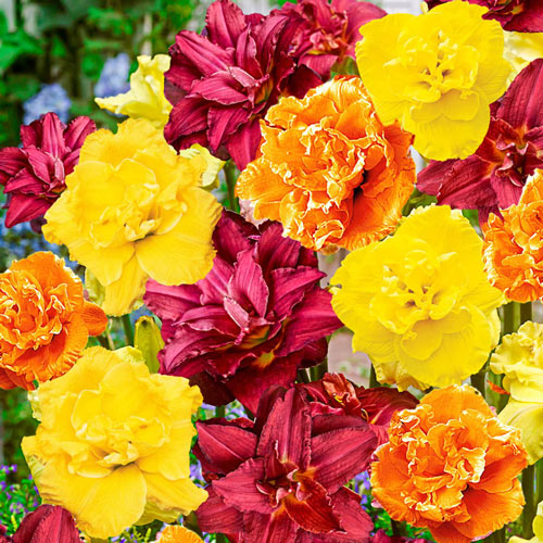 Double Daylily Mixture