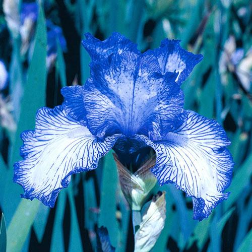 Autumn Circus Reblooming Bearded iris