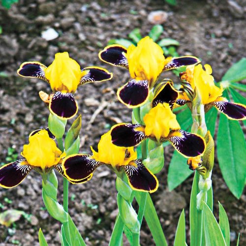 Bumblebee Deelite Dwarf Bearded Iris