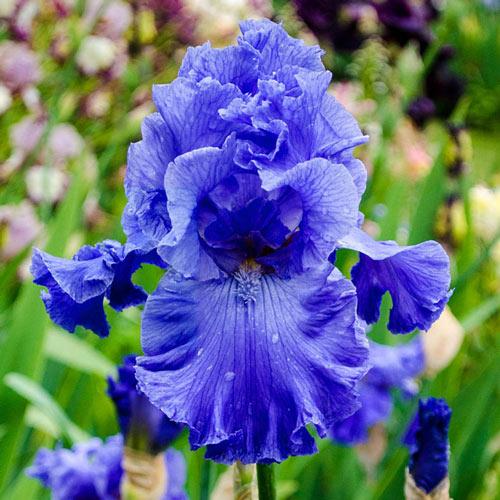 Feed Back Reblooming Bearded Iris