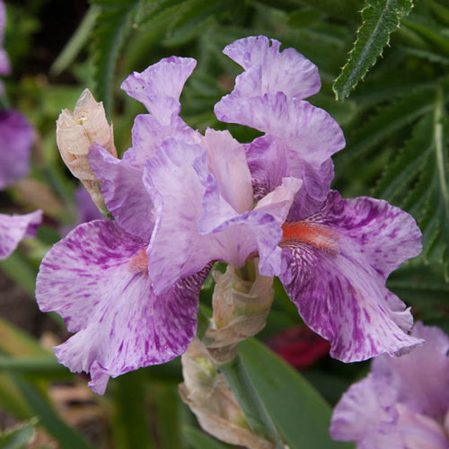 Shazam Bearded Iris