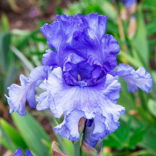 Honky Tonk Blues Bearded Iris