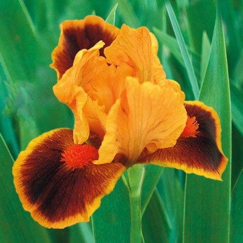 Icon Dwarf Bearded Iris