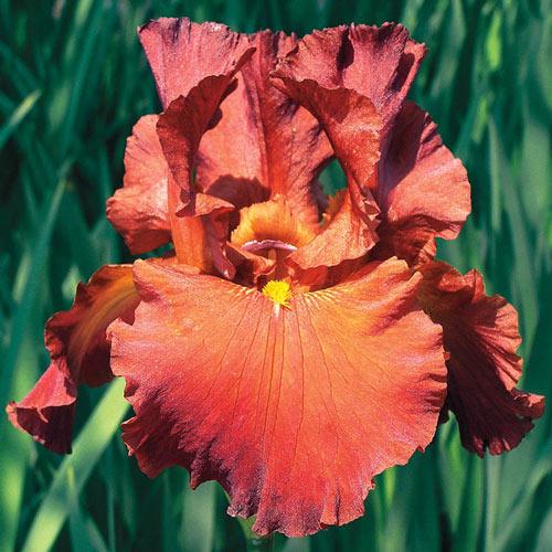 Lest We Forget Reblooming Bearded Iris