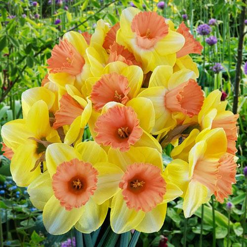 Color Magic Daffodil