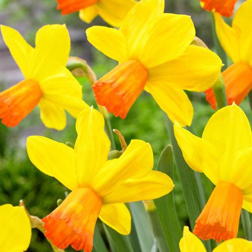Velocity Daffodil