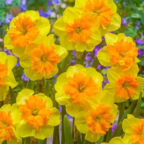 Slice of Life Daffodil