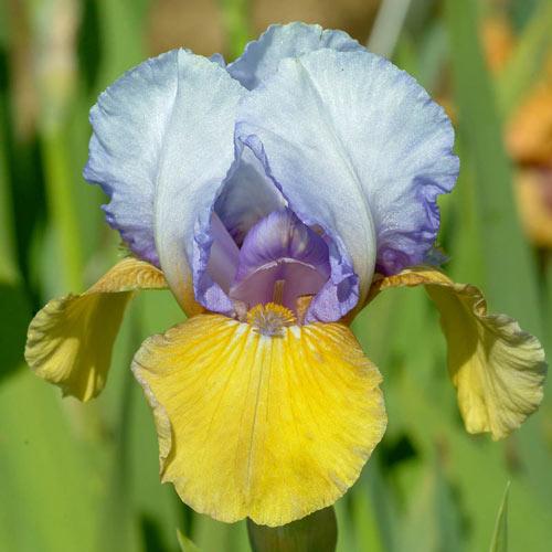 Bold Statement Bearded Iris
