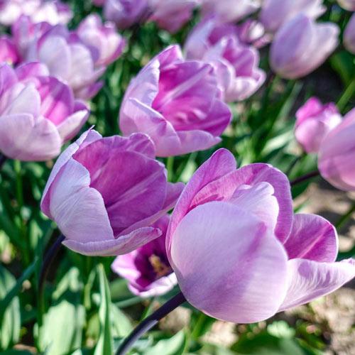 Jacuzzi Tulip