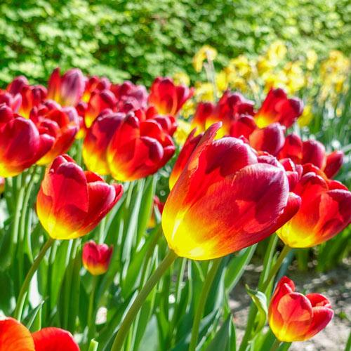 Amber Glow Tulip
