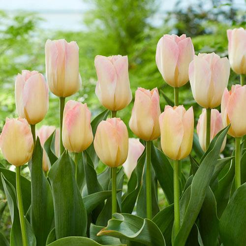 Canary Melon Tulip