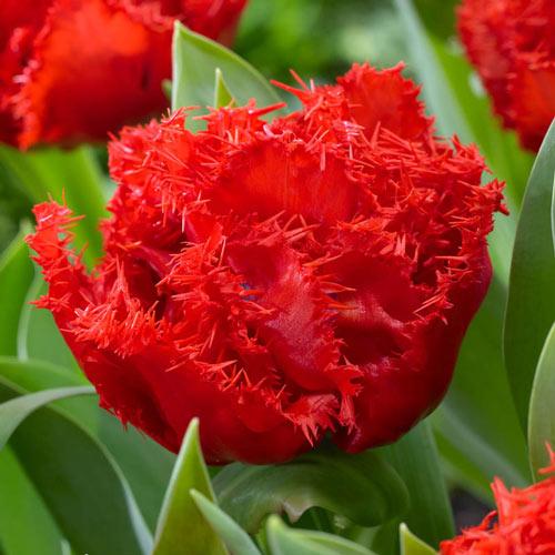 Anfield Tulip